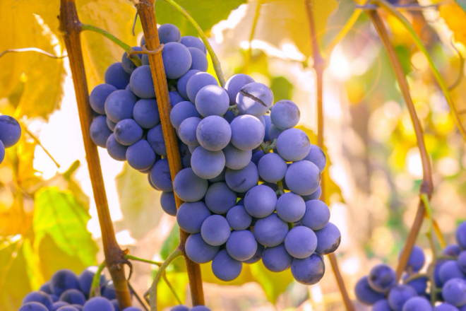 Article11 Grapes